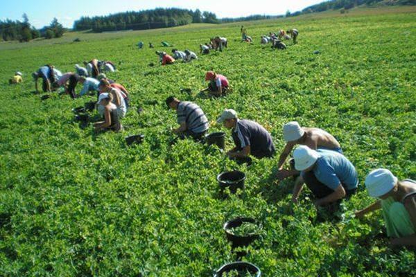 Se caută 200 de culegători de mazăre pentru Danemarca
