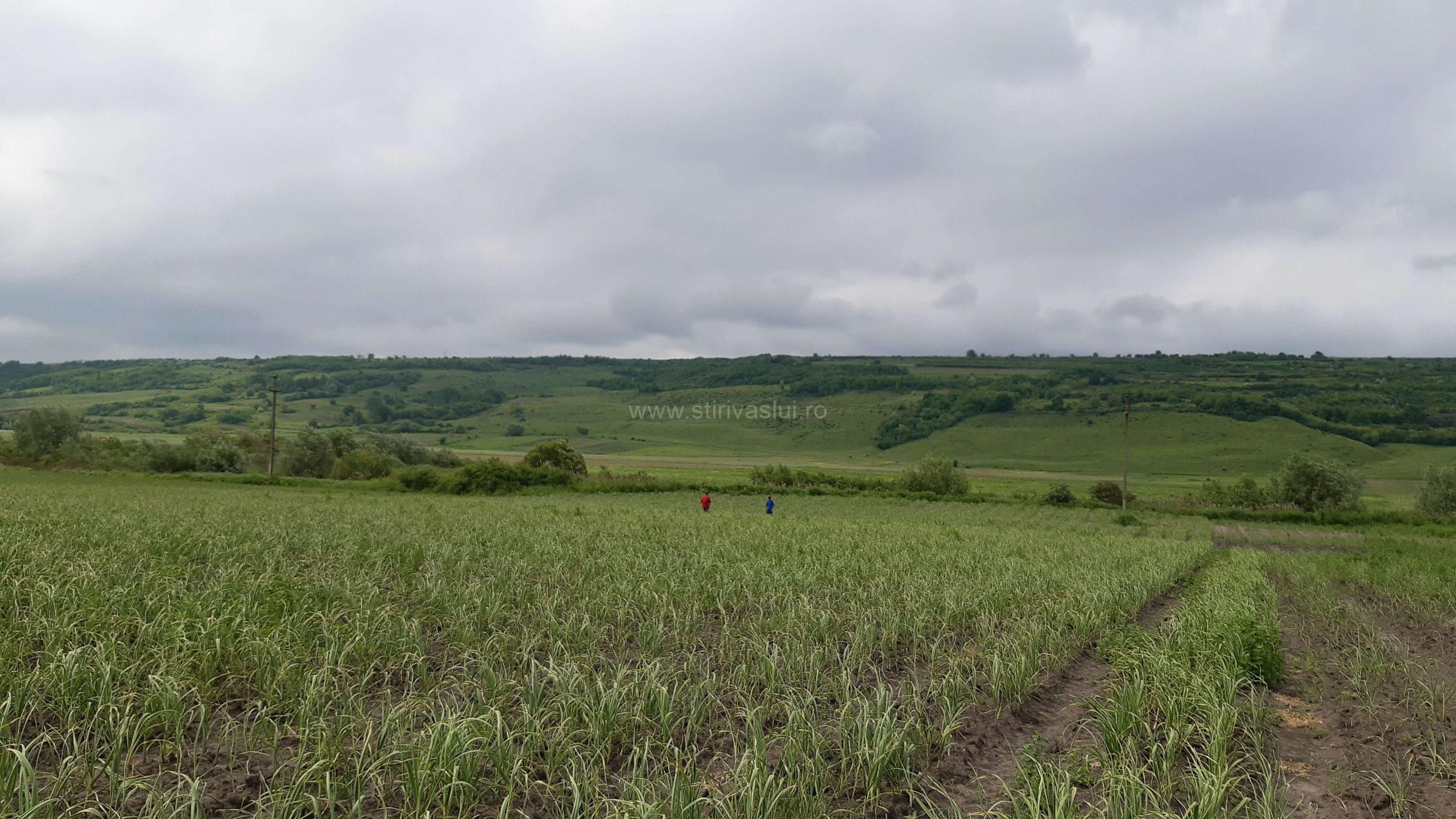 Interes crescut pentru producția de usturoi, în județul Vaslui