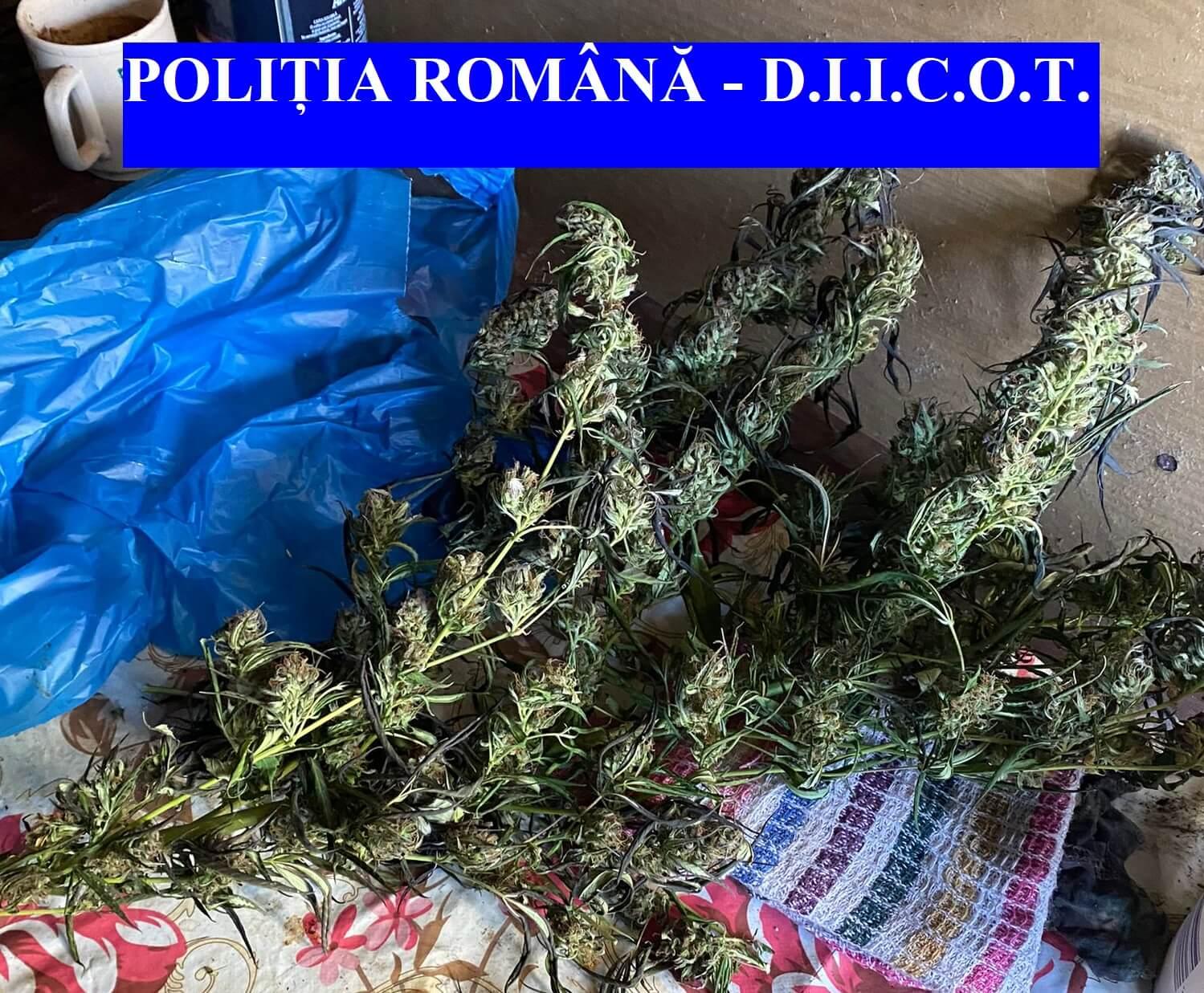 Cultivatori de cannabis, cercetați pentru trafic de droguri